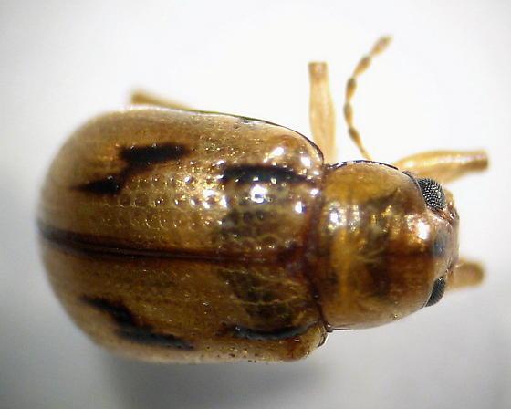 Genus Paria - Paria
