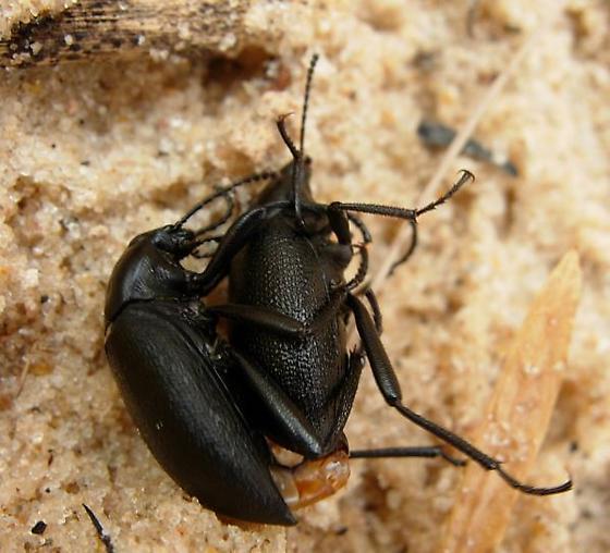 Mating Eleodes - Eleodes fusiformis