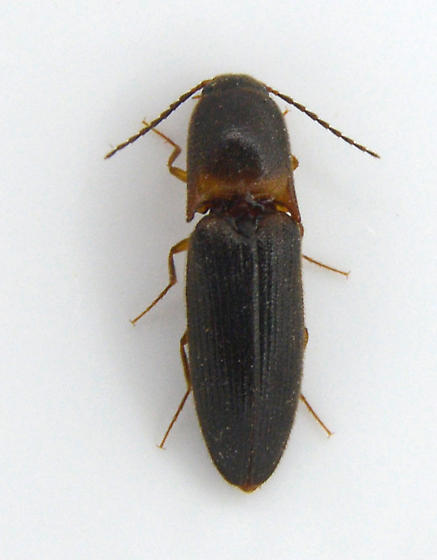 Click Beetle 4 - Megapenthes rufilabris
