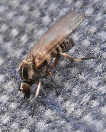 Another tiny fly - Simulium - female
