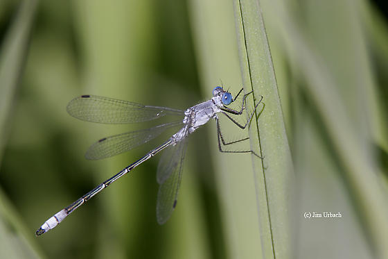 damselfly - Lestes forcipatus