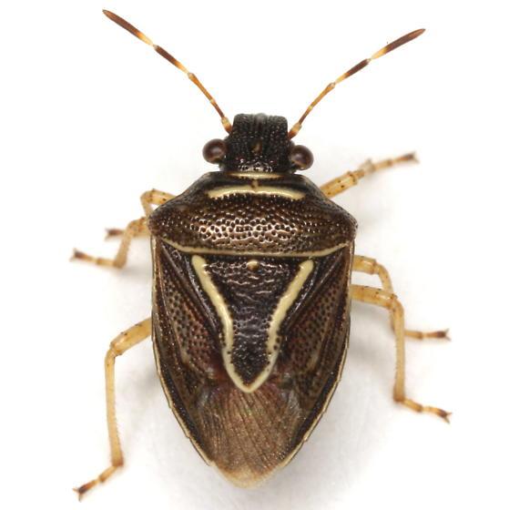 Mormidea lugens (Fabricius) - Mormidea lugens