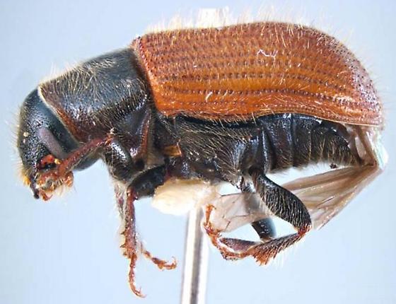 Dendroctonus rufipennis
