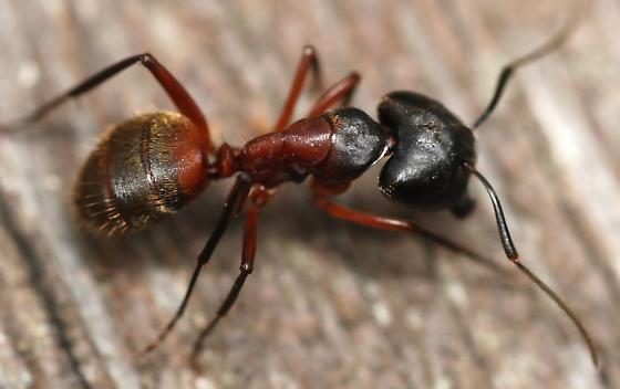 major worker, ferruginous carpenter ant - Camponotus chromaiodes - female