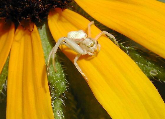 Crab Spider w/6 legs - Misumena vatia