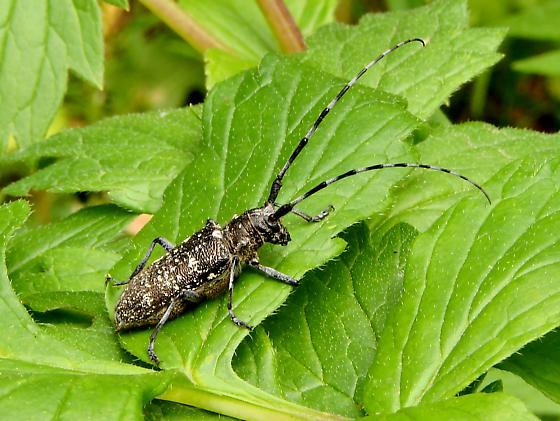 Unidentified beetle - Monochamus scutellatus