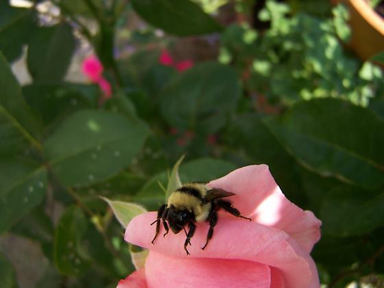 Mystery Bumblebee - Bombus rufocinctus