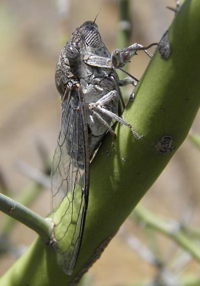 Cicada - Diceroprocta knighti