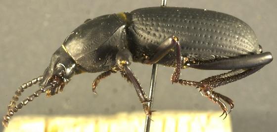 Cerenopus concolor (LeConte) - Cerenopus concolor