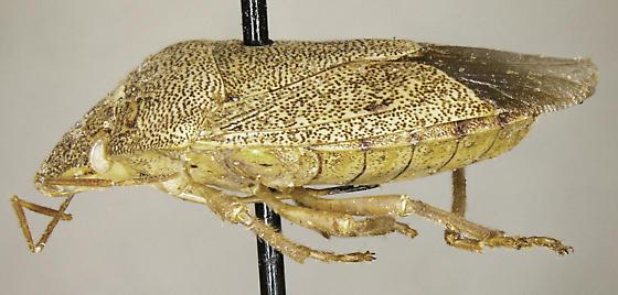 Banasa grisea - female