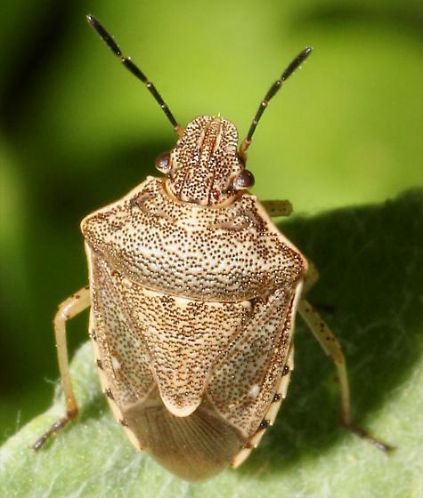 Rough Stink Bug? - Moromorpha tetra