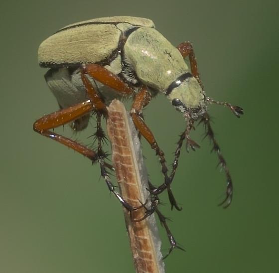 Yellow beetle with red legs - Macrodactylus uniformis