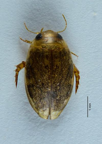 Small Dytiscid... - Laccophilus