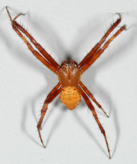 Spider - Gea heptagon - male