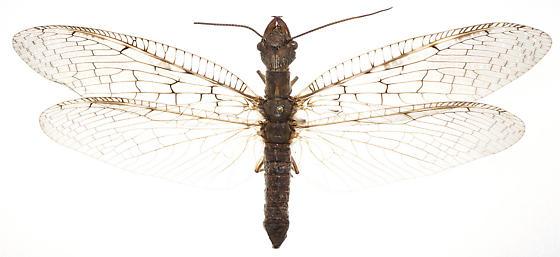 Corydalus cornutus (Linnaeus) - Corydalus cornutus - female
