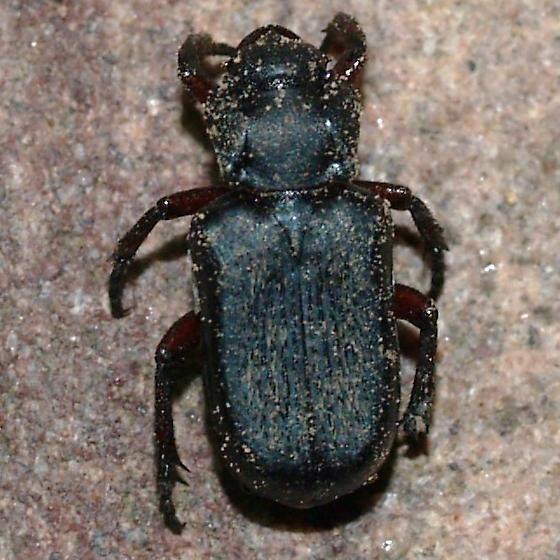 chremastocheilus - Cremastocheilus lengi