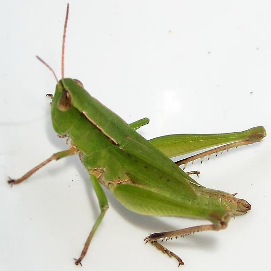 Short Winged Green Grhopper Dichromorpha Viridis Female