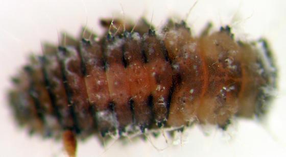 Rhyzobius lophanthae