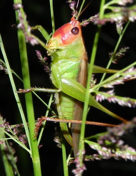 Red-headed or Black-legged Katydid? - Orchelimum erythrocephalum - female
