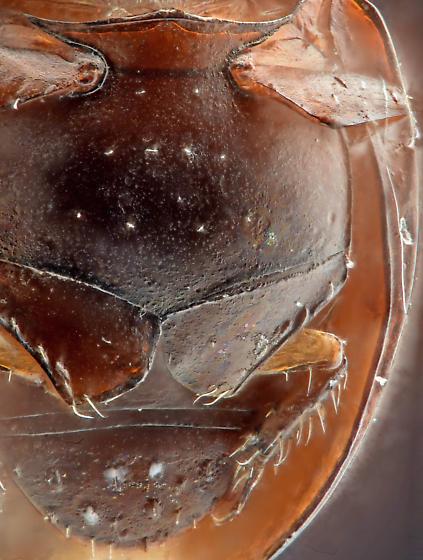 Specimen 2, ventral close - Sphaerius