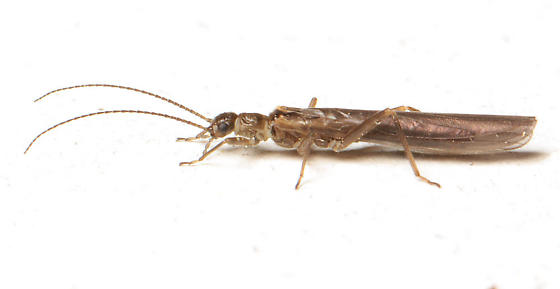 Rolled-winged Stonefly