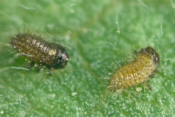 Chrysomelidae, larvae - Ophraella americana