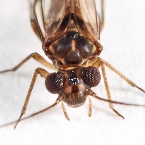 barklouse - Indiopsocus campestris