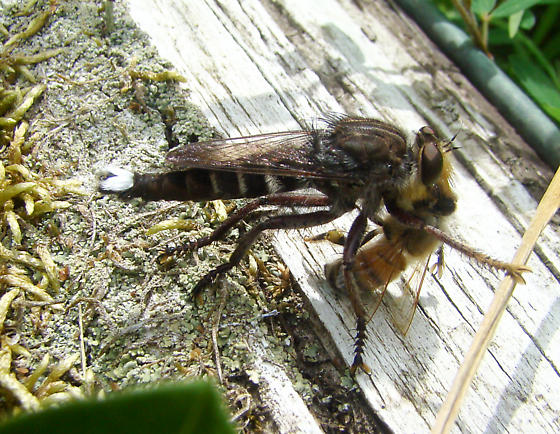 robber fly with white on end of abdomen - Promachus bastardii - male
