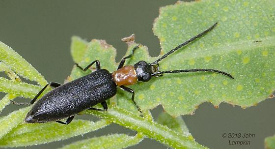 False Blister Beetle ?