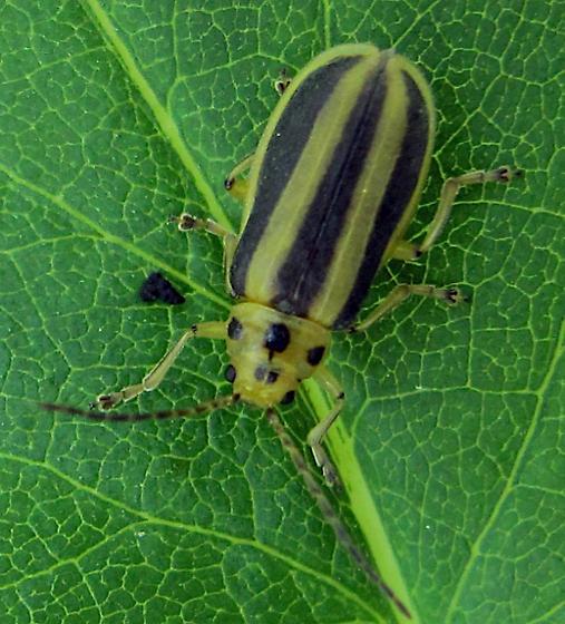 Leaf beetle? - Trirhabda