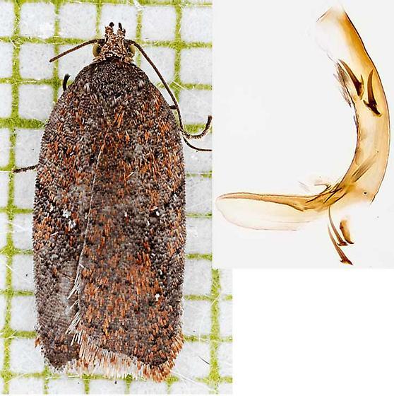 moth and phallus - Acleris stadiana - male
