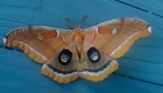 Another beautiful moth! - Antheraea polyphemus - male