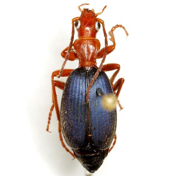 Brachinus americanus (LeConte) - Brachinus americanus
