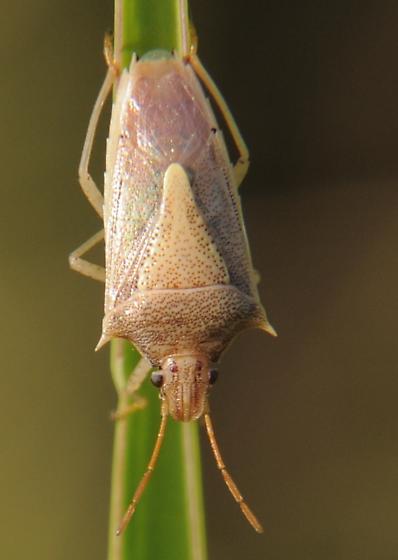 Tan Bug - Oebalus pugnax