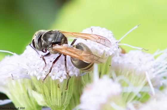 bee - Brachygastra mellifica
