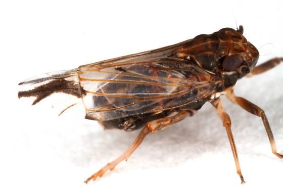 Caliscelidae? - Asarcopus palmarum