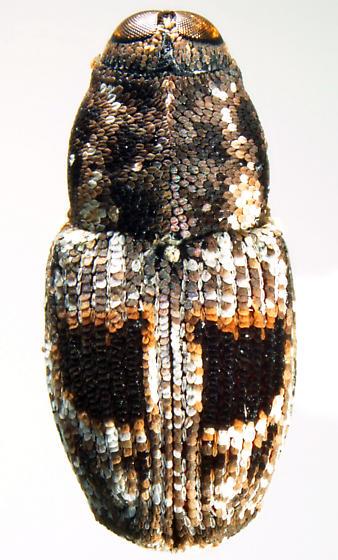 Cylindrocopturus binotatus, dorsal - Cylindrocopturus binotatus