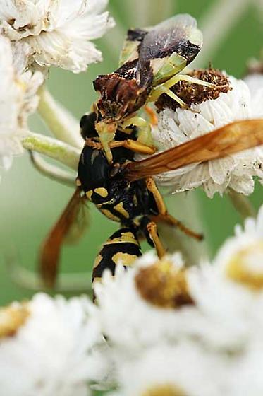the battle - Phymata pennsylvanica