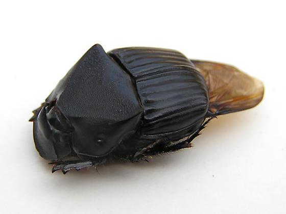 Phanaeus triangularis - male