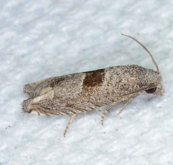 Sunflower Bud Moth ?