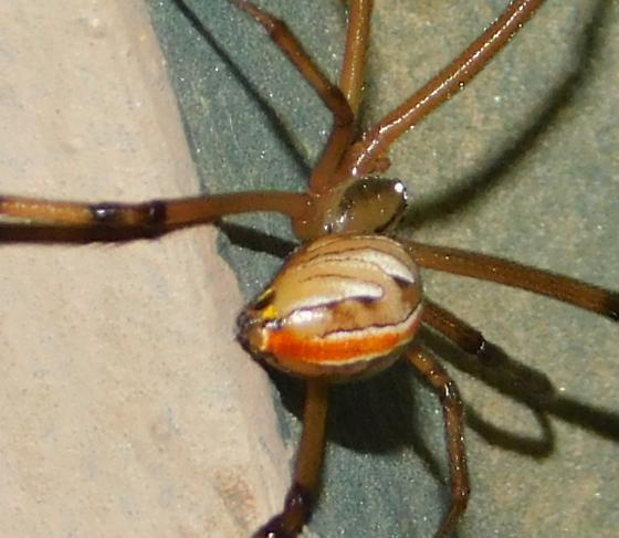 Latrodectus hesperus  - Latrodectus hesperus - male