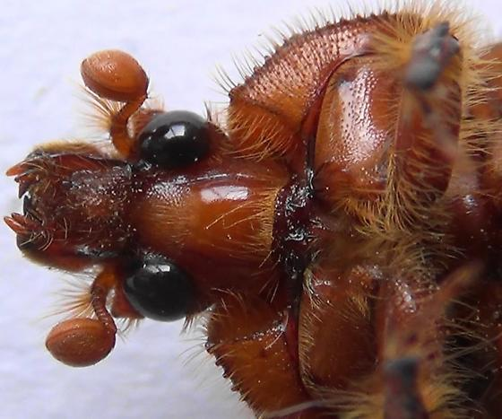 Earth-Boring Machine - Bolbocerastes imperialis - female