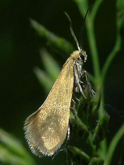 Lampronia sublustris