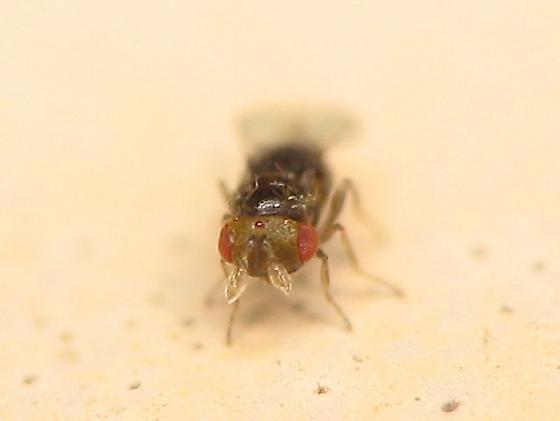 Tiny Wasp - Trichogramma