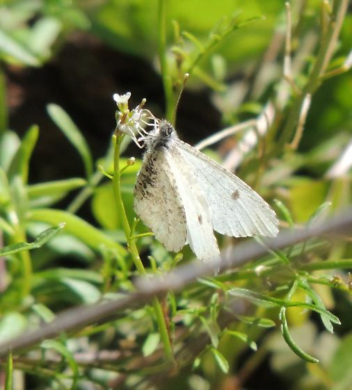 white moth or butterfly - Anthocharis midea