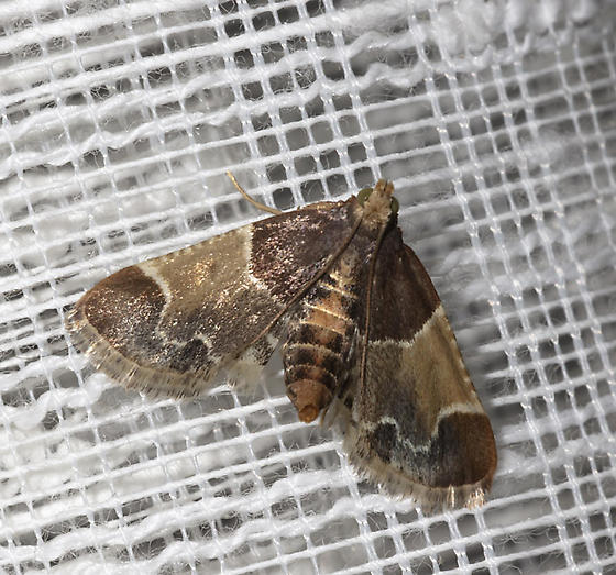 Moth in the house - Pyralis farinalis