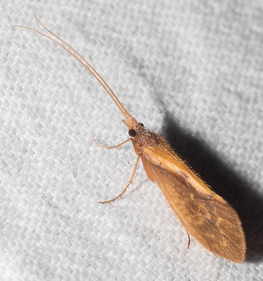 Orange-streaked caddisfly - Neophylax