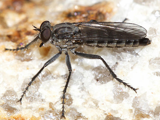small robber fly - Lasiopogon currani - female