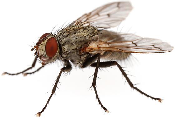 Tachinidae - Microchaetina mexicana - male
