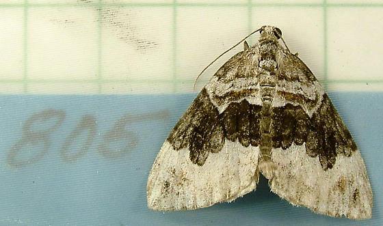 1733 Dysstroma hersiliata - Orange-barred Carpet 7189 - Dysstroma hersiliata